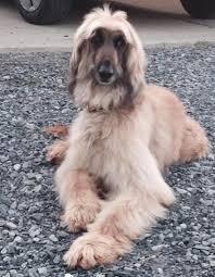 afghan hounds for adoption 746 best afghan hound images on pinterest afghans afghan hound