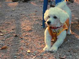bichon frise cute free photo bichon frise dog pets cute free image on pixabay