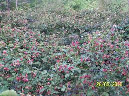 growing blackberries for profit gardensall