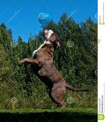 american pitbull terrier jumping a powerful dog jumping in the air after a balloon stock photo