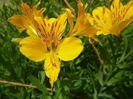 Alstroemeria Alstroemeria The Peruvian Lily