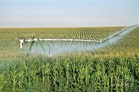 irrigated corn irrigated corn crop photograph by inga spence