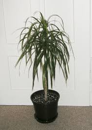 how to grow and care for dracaena marginata sproutabl