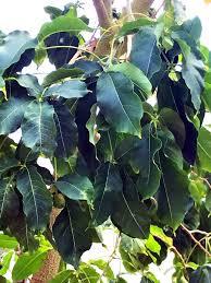 free photos tree of white sapote by photobolt free