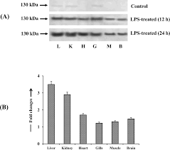 pattern of analysis expression pattern of inos enzyme protein western blot analysis