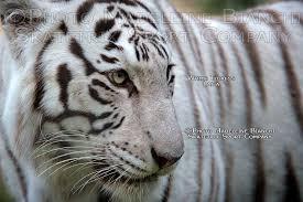 skatetrix white white tiger photo shows both are