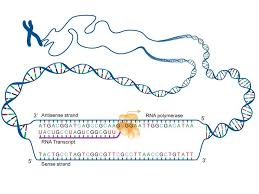 fact sheet dna rna protein u2013 microbenet the microbiology of the
