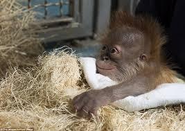comfortable life adorable images of orangutan pongo and his mother blaze at zoo