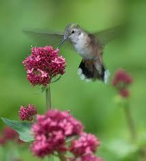 Hummingbird Flowers Attracting Hummingbirds To The Backyard Garden By Growing Flowers