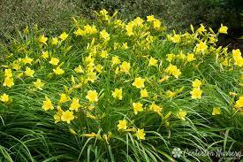 reblooming daylilies happy returns reblooming daylily