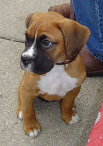 boxer dog origin boxer dog breed all about boxer dog breed