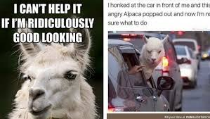 Alpaca Memes - 38 alpaca memes that will either be the funniest or weirdest thing