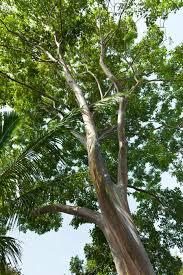 rainbow eucalyptus tree for sale fast growing trees