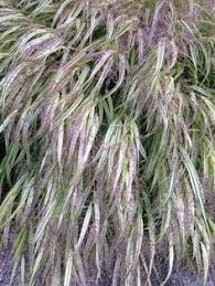 ornamental grass pennisetum orientale karley flowering in