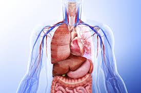 Pictures Of The Human Body Internal Organs Learn About The Organ Systems In The Human Body