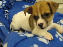 belgian sheepdog massachusetts groton ma rat terrier meet biggie smalls a dog for adoption