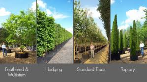 container grown trees air pot grown trees hedging and topiary