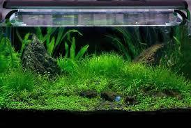 membuat aquascape bening faktor penyebab aquascape gagal