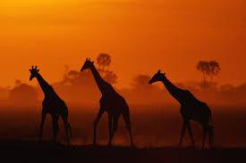 inside the fight to stop giraffes u0027 u0027silent extinction u0027