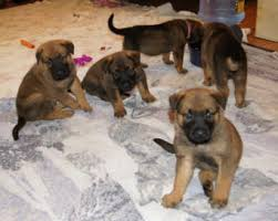 belgian shepherd labrador cross camelot german shepherds camelot german shepherds german