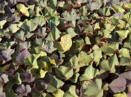 plant guide ipomoea batatas ace of spades ace of