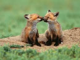 two cute animals cute fox jpg