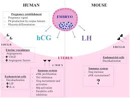 frontiers the endocrine milieu and cd4 t lymphocyte polarization