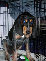 bluetick coonhound in florida bluetick coonhound dog breed information and pictures
