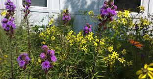 native missouri plants consider planting blazing star in your garden missouri ruralist