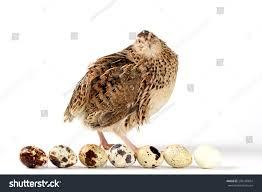 estonian breed quail quail eggs stock photo 296148854 shutterstock