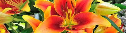 lilies flower flower bulbs lillies lilium american