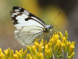 pine white butterfly pictures and information