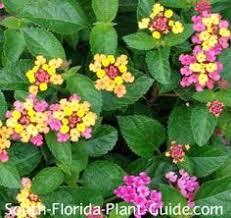 plant zone map for south florida south florida plant guides plant
