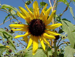 plants native to arizona sunflower helianthus annuus arizona wild flowers pictures