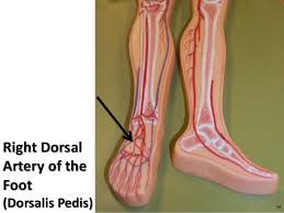 Foot Vascular Anatomy Blood Vessel Anatomy A Visual Guide To The Arteries