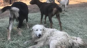 Wildfire Credit Union Locations by Hero Dog Saves Goats In California Wildfire Tulsa U0027s 24 Hour News