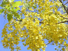 golden shower tree america