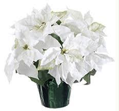 white poinsettia white poinsettias montessori day academy of hartsville