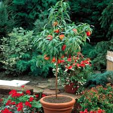 Fruit Garden Ideas You Can Fruit Trees In Pots And Growing Trays On The Balcony