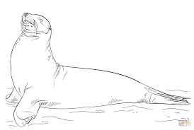 galapagos sea lion posing coloring page free printable coloring
