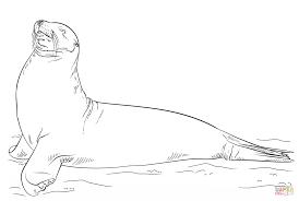 galapagos sea lion posing coloring free printable coloring