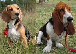 bluetick coonhound vs redbone coonhound the beagle vs other breeds
