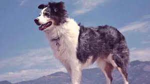 australian shepherd joint problems the aussie u0027s personality the australian shepherd petcarerx