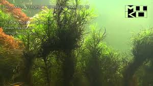 Tropical Aquatic Plants - amazon tropical river underwater stock video footage 22 youtube