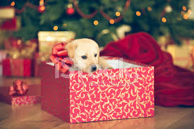 puppy in a present stock photos freeimages