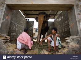 jaipur india 31st aug 2014 people rest at an elephant shelter