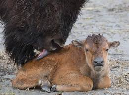 Alaska wild animals images Wood bison north america 39 s largest animal to be reintroduced jpg