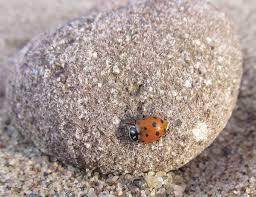 Ladybug Resume Ladybugs Lost And Found Northern Wilds