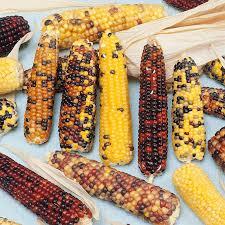 ornamental corn seeds rainbow