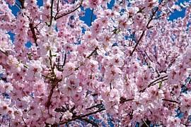 free photo flowers pink tree flower tree free image on